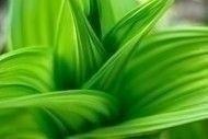 hellebore_plant