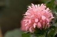 Brazilian_Plume_flower