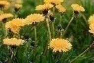 weeds_dandelions