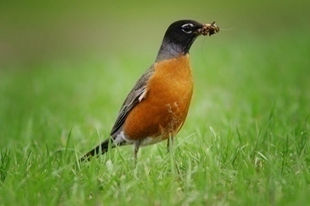 bird_eating_grubs