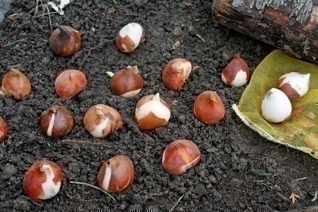 planting_bulbs