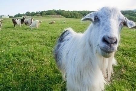 goats_grazing