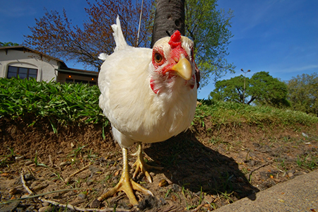 How to Keep Your Backyard Chickens — and Yourself — Healthy and Safe