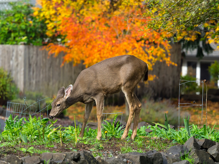 How to Keep Deer from Your Garden