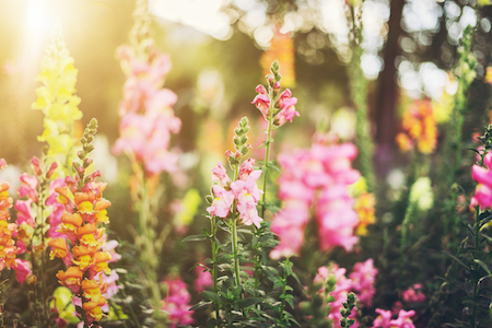 5 Annual Flowers to Plant in Your Garden This Spring