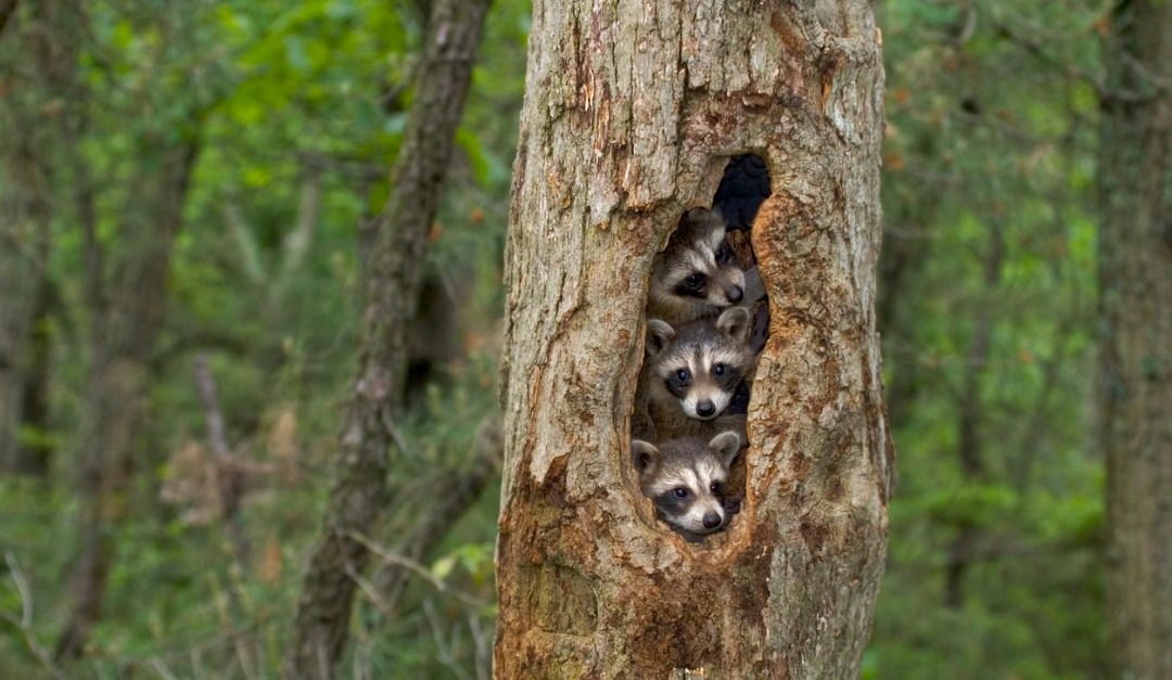 How to Safeguard Your Home From Pesky Raccoons